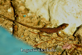 Photo: Lagarto Ocelado