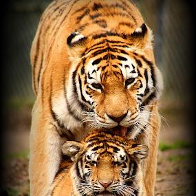 Toma's Love by Amanda Westerlund - Animals Other Mammals