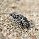 Bronzed Tiger Beetles