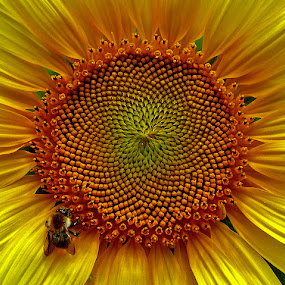 sunflower by Dunja Kolar - Nature Up Close Flowers - 2011-2013 ( sunflower )