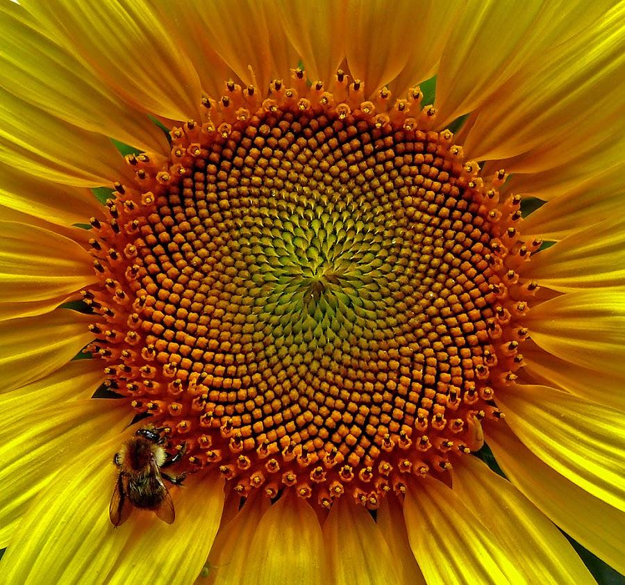 sunflower by Dunja Kolar - Nature Up Close Flowers - 2011-2013 ( sunflower )