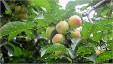 Photo: Corcoduși (Prunus cerasifera) - din Turda, de pe Calea Victoriei, zona Materna, intre blocuri  - 2018.06.29