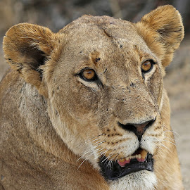 Ntsevu Lioness by Anthony Goldman - Animals Lions, Tigers & Big Cats ( lioness.predaor, londolozi, big cat, wild, ntsevu pride, wildlife )