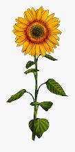 Photo: Sonnenblume 3
