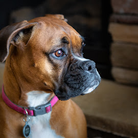 Boxer Look by Craig Lybbert - Animals - Dogs Portraits ( boxer, black muzzle, profile, brown, dog )