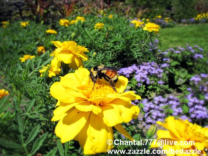 Photo: Bumble Bee on Yellow Marigold Flower  For purchase options, please visit: http://www.zazzle.com/bedazzle_?rf=238495497904486483?tc=Picassa http://www.redbubble.com/people/chantalc http://fineartamerica.com/profiles/chantal-photopix.html http://www.imagekind.com/MemberProfile.aspx?MID=0ce77662-2c03-43db-a99e-624f597d2c1a http://society6.com/ChantalPhotoPix http://www.greetingcarduniverse.com/ChantalPhotoPixPhotography http://www.dreamstime.com/Chantalphotopix_info-resi3998173 http://www.bigstockphoto.com/profile/JFNEKBV43s?refid=JFNEKBV43s http://us.fotolia.com/p/202544825/partner/202544825 http://www.123rf.com/#chantalphotopix   http://submit.shutterstock.com/?ref=883996    Join me on: http://www.facebook.com/chantal.photopix?v=info#!/chantal.photopix https://twitter.com/#!/ChantalPhotoPix http://pinterest.com/chantalphotopix/  Read my Blogs on: http://www.chantalphotopix.blogspot.com http://www.squidoo.com/lensmasters/ChantalPhotoPix