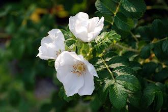 Photo: Beach rose (Rosa rugosa)