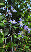 Photo: Clematis 'Blue River' diversifolia group