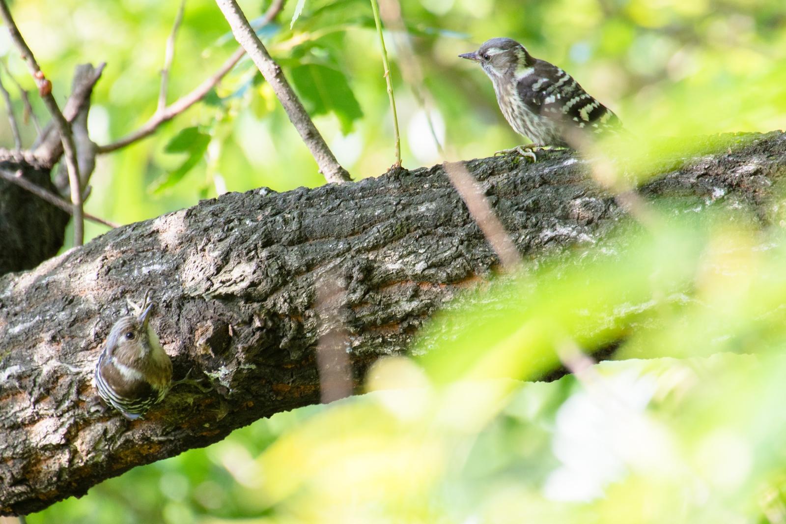 Photo: かくれんぼ Hide-and-seek.  森は大きな大きな遊び場所 追いかけっこをしてみたり かくれんぼをしてみたり 僕を見つけられるかな  Japanese Pygmy Woodpecker. (コゲラ)  #birdphotography #birds  #cooljapan #kawaii  #nikon #sigma   Nikon D7200 SIGMA APO 50-500mm F5-6.3 DG OS HSM  ・小鳥の詩朗読 /poetry reading https://youtu.be/J3s4ioqtFyM?list=PL2YtHGm0-R3qVsaqvQe9OYdJFCkI98wzF