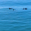 Pacific Bottlenose Dolphins