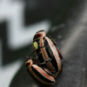 Skeletonizing Leaf Beetle