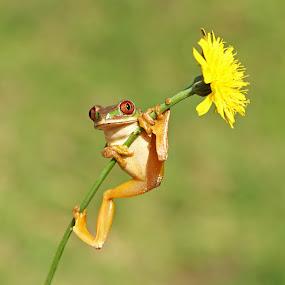 Natal Forest Tree Frog by David Knox-Whitehead - Animals Amphibians ( macro, frog, tree frog, amphibian, flower )