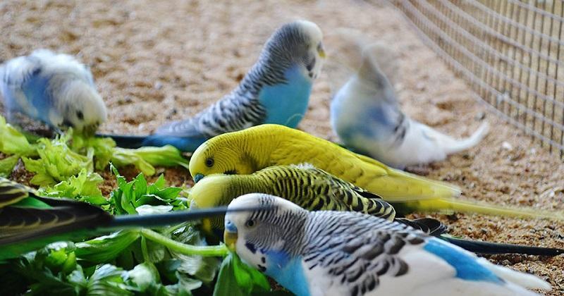 Корм для волнистых попугаев (15 фото): рейтинг лучших кормов и их состав. Выбор корма для попугайчиков до 1 года и для взрослых попугаев. Сколько корма в день им нужно?