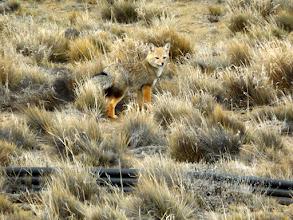 Photo: Andenfuchs, Feuerlandfuchs, Magellanfuchs, Culpeo, Culpeofuchs oder patagonischer Fuchs