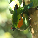 Ouvea Parakeet