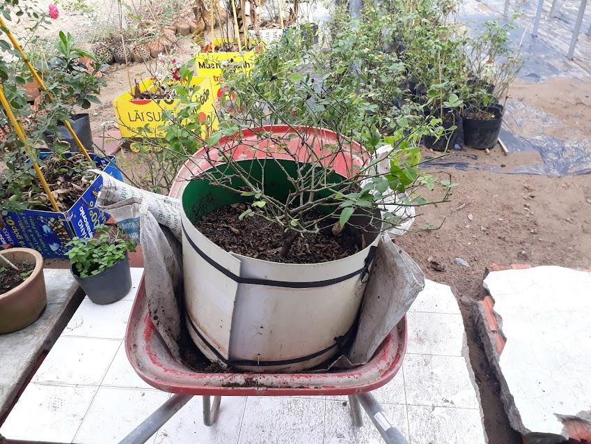 Đặt chậu hồng Misaki lên xe rùa và di chuyển sang vườn mới