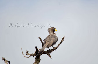 Photo: Turaco gris occidental (Crinifer piscator)