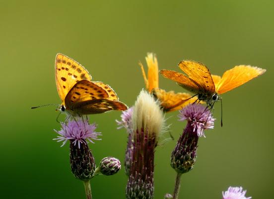 Tris di farfalle di Giorgio Lucca