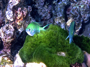 Photo: green chromis tickling their belly on green moss