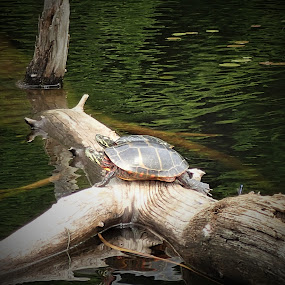 Turtles by Michelle Kelly - Novices Only Wildlife (  )