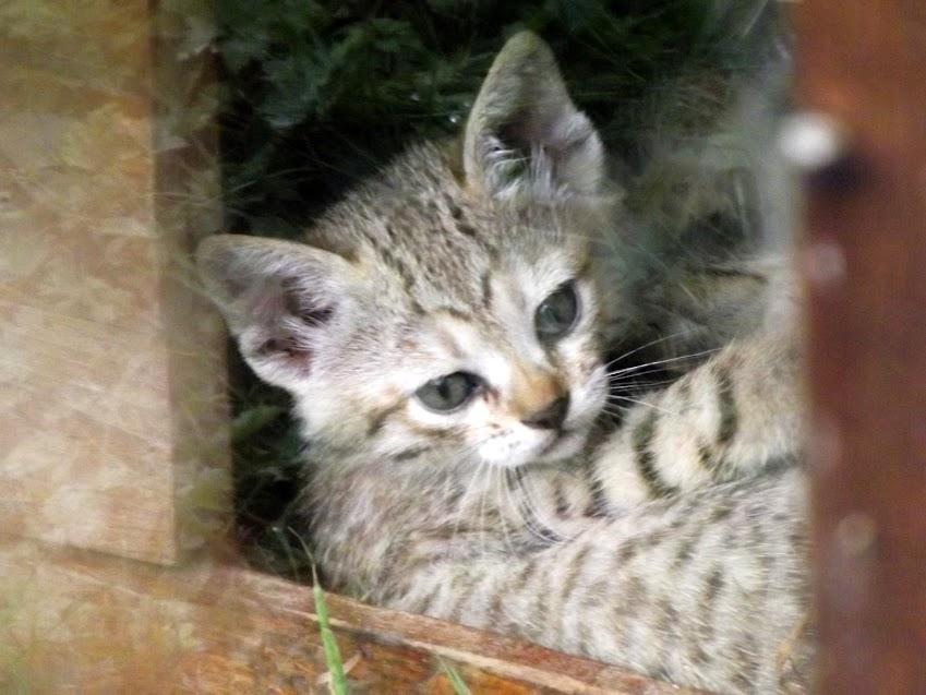 Jeune chat sauvage africain ( 5 semaines ), Parc des Félins - Tous droits réservés