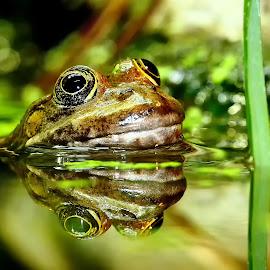 Frog reflexion n00101 by Gérard CHATENET - Animals Amphibians