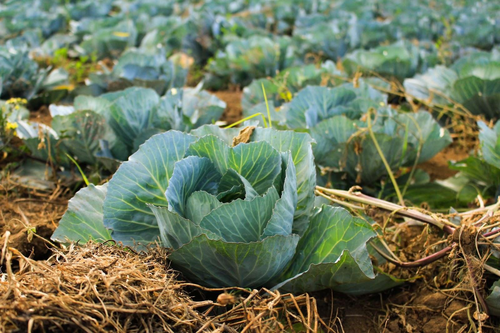 Imagem de um pé de couve para ilustrar discussão sobre comida orgânica