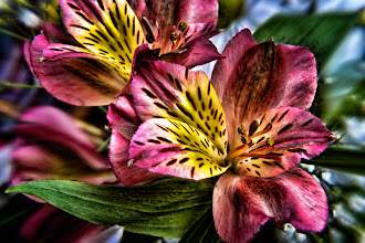 Photo: Something bright and colourful for such a dull and dreary day (I can't help notice my stream hasn't had much colour in it recently either!) - Peruvian lilies, or Alstroemeria Saturne to give them their proper name. For #DigitalPaintographyThursday , curated by +Christianna Pierce  #PlusPhotoExtract