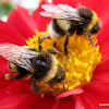 Buff-tailed bumblebees