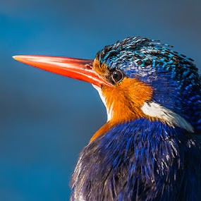 Malachite Kingfisher portrait by Joggie van Staden - Animals Birds ( bird, wild, flight, beak, feathers, animal,  )