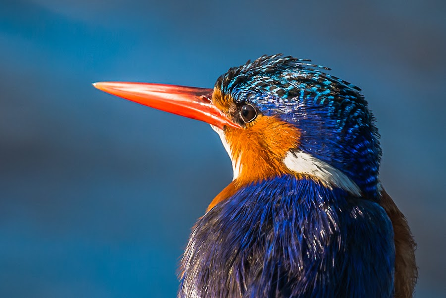 Malachite Kingfisher portrait by Joggie van Staden - Animals Birds ( bird, wild, flight, beak, feathers, animal,  )