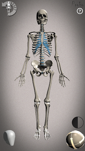 Skelly: Poseable Anatomy Model