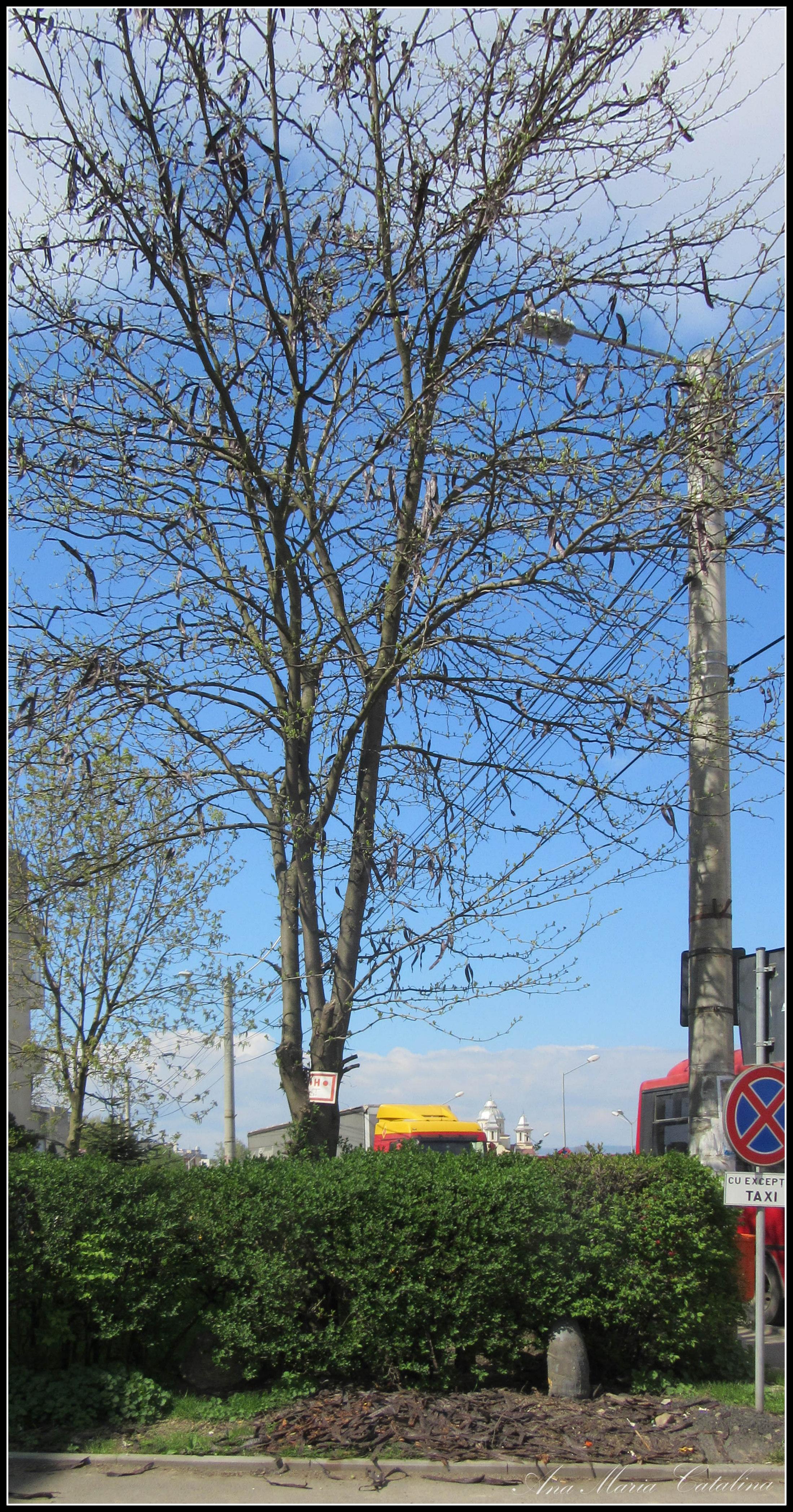 Photo: Glădița,  plătica  ( (Gleditschia triacanthos)  - de pe Calea Victoriei, Nr. 134 2016.04.15 album http://ana-maria-catalina.blogspot.ro/2016/04/gladita-platica-gleditschia-triacanthos.html