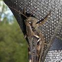 Keeler's Spur-throat Grasshopper