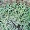 Flute Lichen