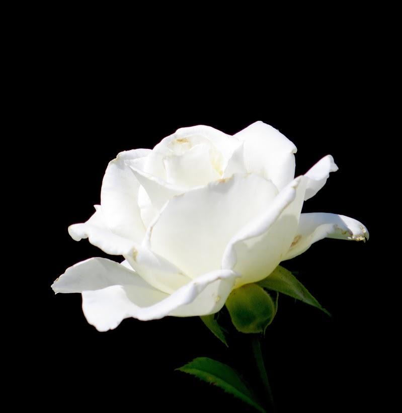 bianca rosa di mariellaturlon