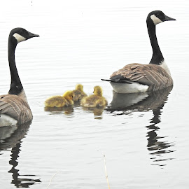 Geese by Jaliya Rasaputra - Animals Birds
