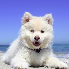 BEach by Jay Reich - Animals - Dogs Portraits ( white, puppy, beach, fluffy, dog,  )