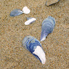 Common Blue Mussel
