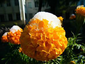 Photo: flowers after 1st snow in winter 2012 in QRRS Dorms garden. benzrad 朱子卓 lingered here for his new family, Royal China.