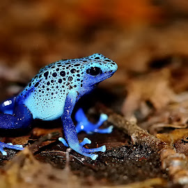 Azuréus by Gérard CHATENET - Animals Amphibians