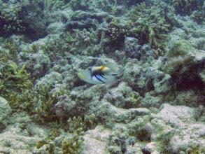 Photo: Rhinecanthus aculeatus (Picasso Triggerfish), Naigani Island, Fiji