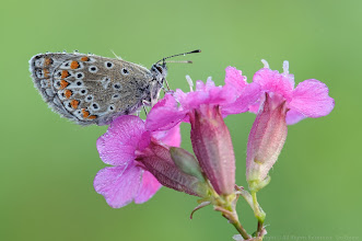 Photo: Argus Bleu, Polyommatus Icarus, Common Blue http://lepidoptera-butterflies.blogspot.com/ https://www.facebook.com/pages/Macro-Photography-Do-Dema/540798875993427