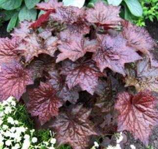 Coral bells 'Palace Purple' (6 pcs) - Aiasõber