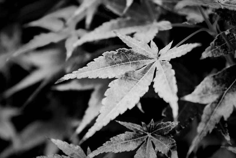 foglie di kareas