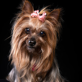 Miss Lola by Peter Driessel - Animals - Dogs Portraits