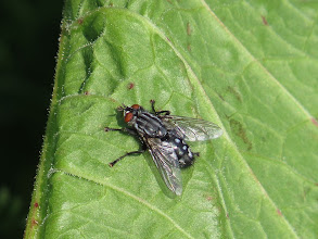 Photo: 25 Jun 13 Woodhouse Lane: Another fearsome looking fly: it is probably a Flesh-fly (Sarcophaga carnaria). Even the scientific name is evil! (Ed Wilson)