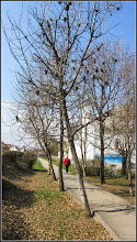 Photo: Frasin (Fraxinus excelsior) - de pe Calea Victoriei, Alee Mr.1 - 2017.03.24