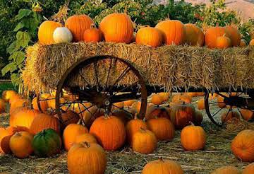 """""""The Great Pumpkin Patch"""""""