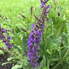 Purple Wood Sage